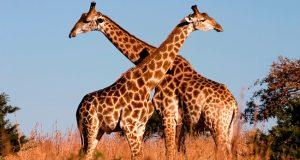 Por caza ilegal, jirafas se encuentran en peligro de extinción