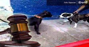Con hasta 5 años de cárcel castigarán peleas de perros en Yucatán