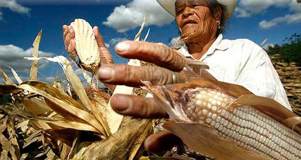 Con biotecnología, productividad de maíz nacional subiría hasta 22%
