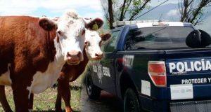 En Huauchinango, PF recupera camión robado con 20 cabezas de ganado