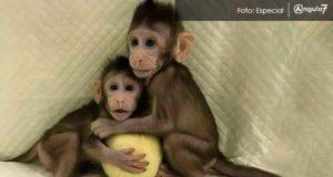 """En China, clonan dos monos con misma técnica que a oveja """"Dolly"""""""
