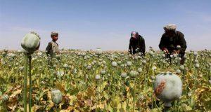 Producción de opio aumenta 87 por ciento en Afganistán durante 2017