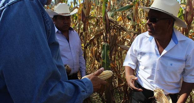 Del 12 al 16 de febrero, exhibirán razas de maíz nativas de Puebla