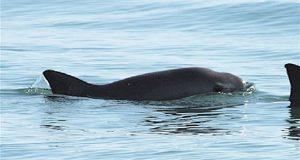 Semarnat ampliará el área de protección a la vaquita marina