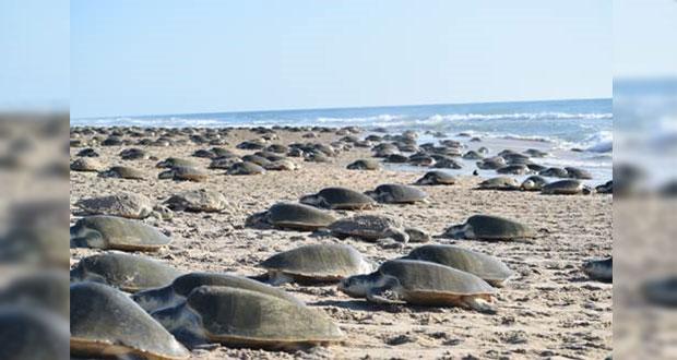 Más de 8 mil tortugas Lora llegan a Tamaulipas, cifra más destacada