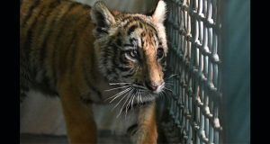 Rescatan cachorro de tigre abandonado en la frontera México-EU