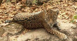 En 8 años, población de jaguares suma 4,800 ejemplares en México
