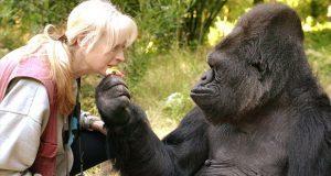 Con 46 años, muere Koko, gorila que sabía lenguaje a señas