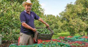 Aguacate lideró exportación agropecuaria de México en 2017: Sagarpa