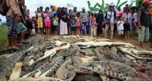 Asesinan a 292 cocodrilos en Indonesia; uno atacó a un vecino