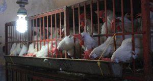 Producción de aves de corral disminuye 14.6% en tres años: Inegi
