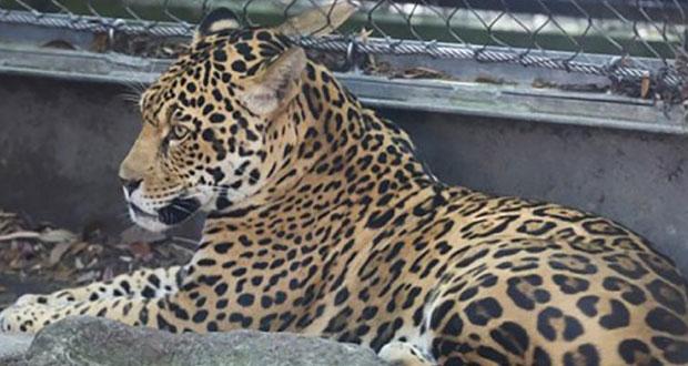 Ocho animales muertos deja fuga de jaguar en zoológico de EU