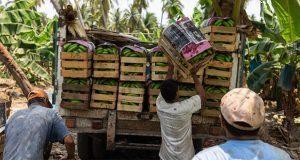 En septiembre podría comercializarse plátano mexicano en China
