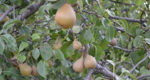 Puebla, principal productor de pera con más de 11 mil toneladas