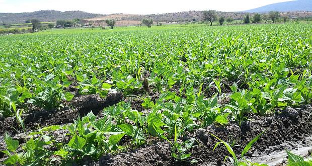 En Puebla, crean biofertilizante que acelera crecimiento de plantas