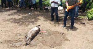 Suman 31 manatíes muertos en Tabasco; culpan a algas tóxicas