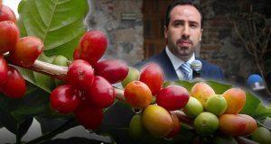 Sdrsot descarta que producción de café haya caído por roya