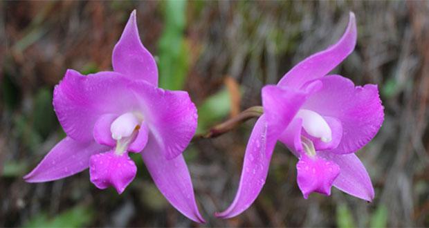 Orquídeas podrían usarse contra síndrome metabólico: experto