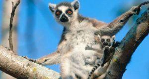 En peligro de extinción 105 especies de lémures de Madagascar