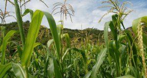 Maíz mexicano evitaría uso de fertilizantes químicos: expertos