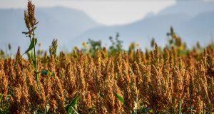 China busca aumentar importación de sorgo desde México: Sagarpa