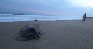 Mueren 122 tortugas en Chiapas y pañal asfixia a delfín en Oaxaca
