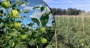 Puebla, 2º mayor productor nacional de tomate verde: Sagarpa