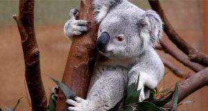 Por tala, Koalas podrían extinguirse en Australia para 2050