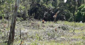 Exigen a gobierno intervenir contra tala de 50 árboles en Forjadores