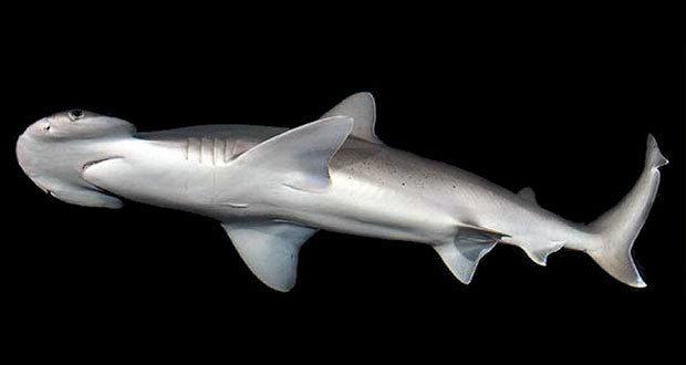 Científicos de EU descubren a tiburón omnívoro que come algas