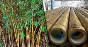 Bambú, el oro verde de la Sierra Norte, sin apoyos para crecer