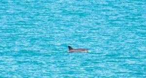 Científicos avistan vaquitas marinas bebés en costas mexicanas