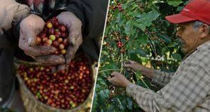 Aumenta 126 por ciento la exportación de café mexicano a China