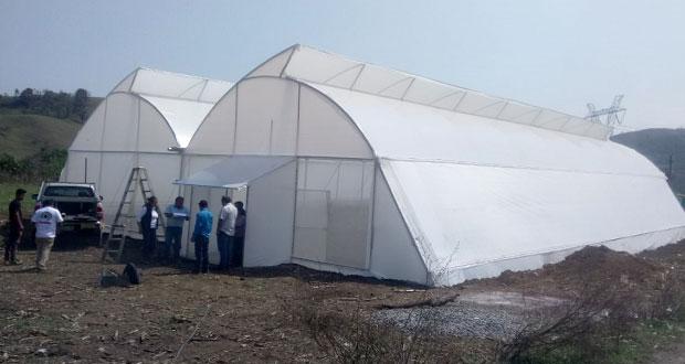 Antorcha impulsa producción aguacate en familias de Chiconcuautla