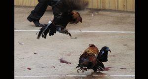 SCJN declara como constitucional la Ley contra las peleas de gallos
