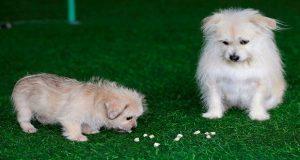En China, logran clonar a estrella canina de cine y televisión
