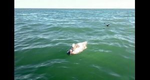 Ambientalistas hallan posible cadáver de vaquita marina
