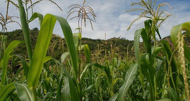 Dieta de la milpa, alternativa para contrarrestar desnutrición: IMSS