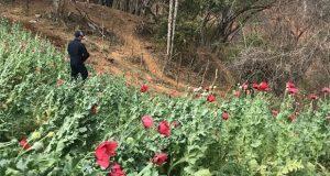 En Sonora, PF elimina 88 toneladas de mariguana y 40 mil amapolas