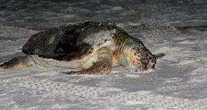 Encuentran al menos 30 tortugas muertas en playas de Guerrero