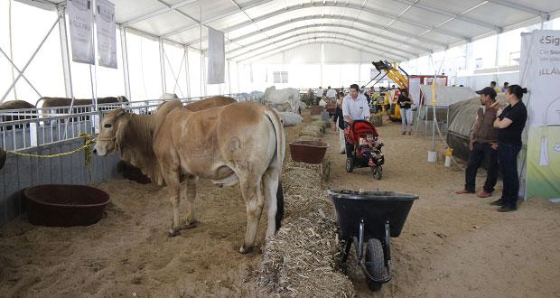 Feria de Puebla exhibe 40 ejemplares bovinos de la mejor calidad