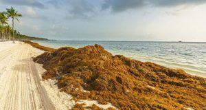Sargazo invadirá costas norte y central de Quintana Roo, advierten