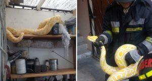 Bomberos capturan a serpiente pitón en casa de Insurgentes Oriente