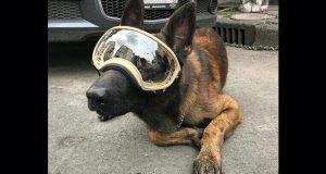 Chichí, perro que ayudó en 19-S está enfermo y necesita donativos