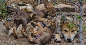 Nacen tres cachorros de lobo gris mexicano en museo de Coahuila