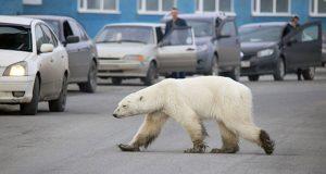 Buscando comida, oso polar se desplaza 800 km de su hábitat natural