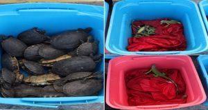 Aseguran en maleta de la CAPU aproximadamente 180 iguanas y tortugas