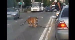 En Rusia, captan a tigre escapando de auto de su cuidador