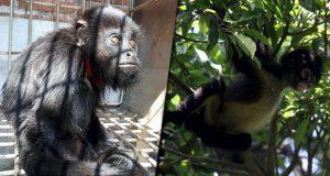 En tráfico de primates, el 95% de monos mueren durante su cautiverio