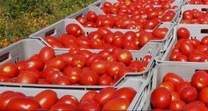 Logra acuerdo México y EU, retirarán aranceles al tomate mexicano